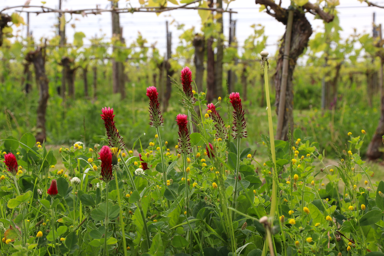 The sustainable wine growing practices of Betuws Wijndomein also results in colorful vineyards.