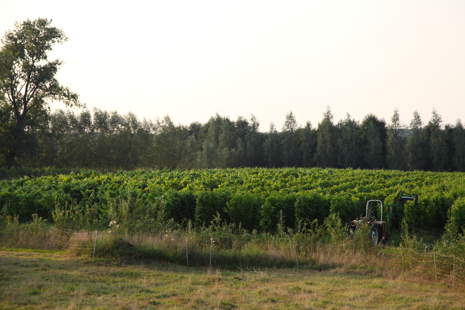 The vineyards of Wijngaard Dassemus