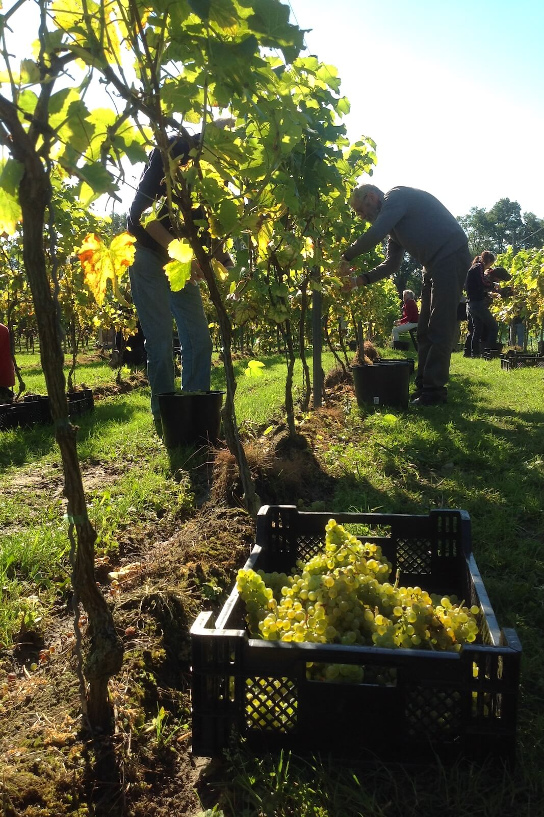 The grapes are being handpicked at Wijngaard Hof van Twente