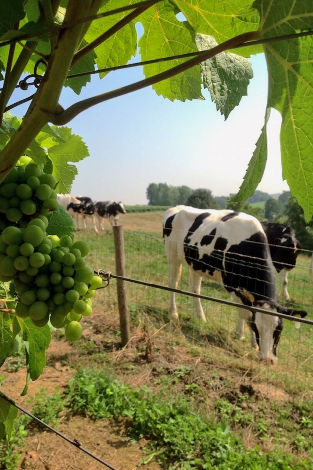 Cows and grapes at Domein De Wijngaardsberg