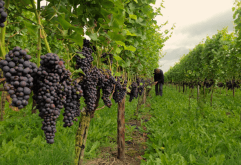Endless rows of grapevines