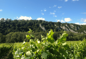 One of the vineyards of Château Bon Baron in the valley of the river Meuse