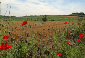 Poppies in the fields around the vineyards
