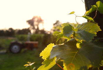 Sunset on Dassemus vineyard