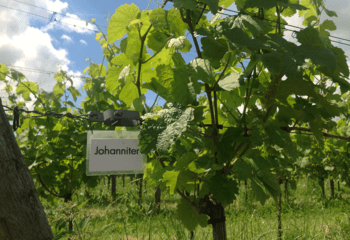 Johanniter vines, a popular grape variety in the Netherlands