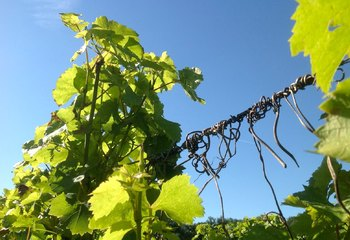The beauty of the vines at Wijngaard Hof van Twente