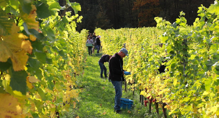 Netherlands: Wine harvest season in southern Limburg